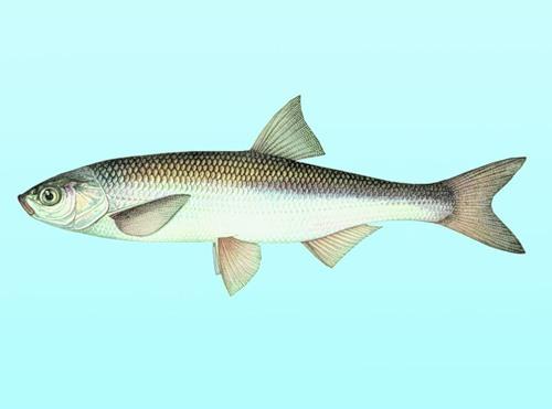 В Шахтах торговали рыбой,  занесенной в Красную книгу