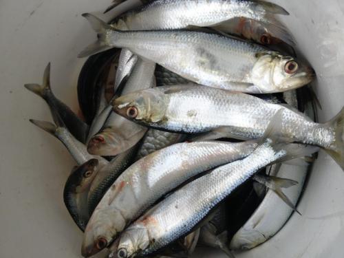 В донской рыбе обнаружены паразиты