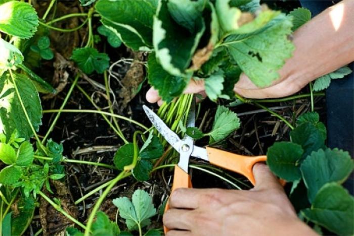 Подготовка клубники к зиме осенью. Основной уход. Когда обрезать и как укрыть клубнику?