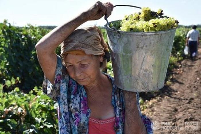 Виноградарство Ростовской области при нынешних темпах развития достигнет уровня времён СССР через 150 лет