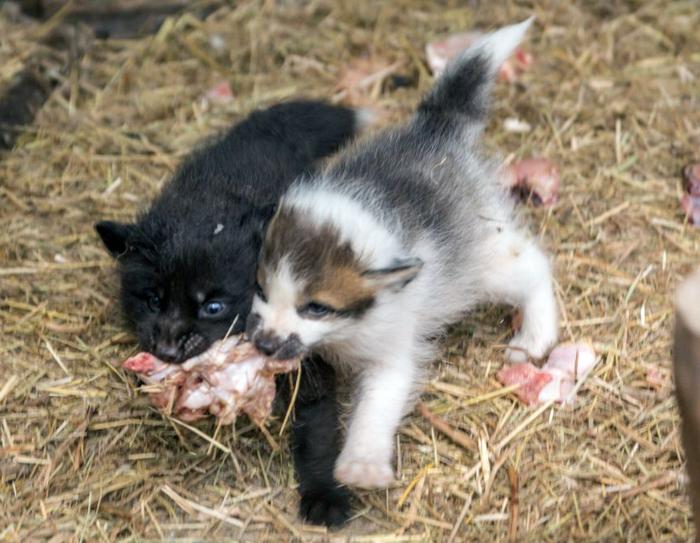 Сразу 2 пары лис Ростовского зоопарка обзавелись потомством