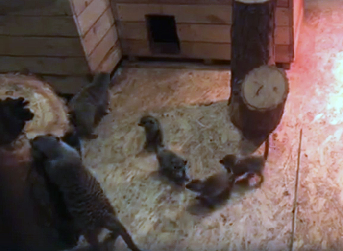 Маленькие сурикатики стали очередным пополнением Ростовского зоопарка