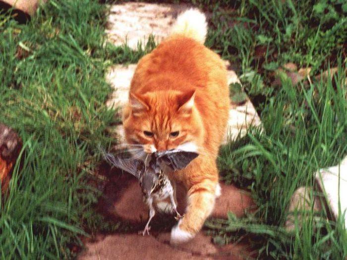 Зачем коты несут убитых животных домой: научные исследования и наблюдения